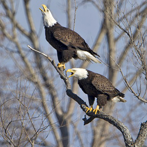 Bald Eagle Watch