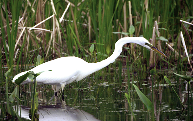 Great Egret Marsh