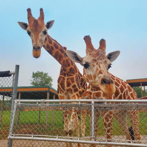Go Wild at African Safari Wildlife Park